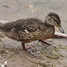 Muddy Duck by dilouise