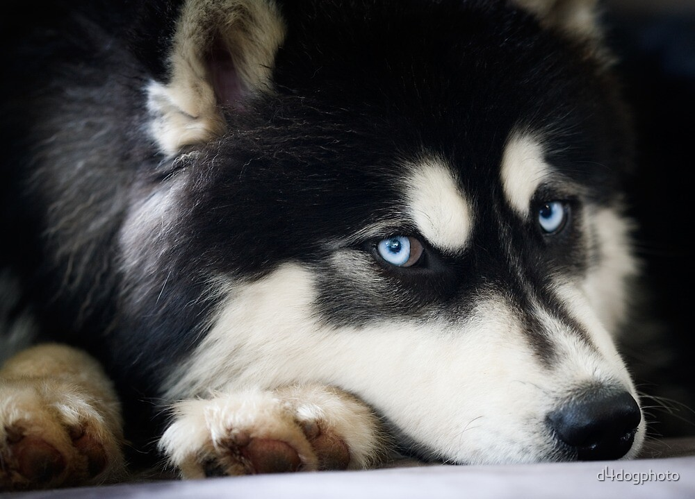 Blue Eyes by d4dogphoto