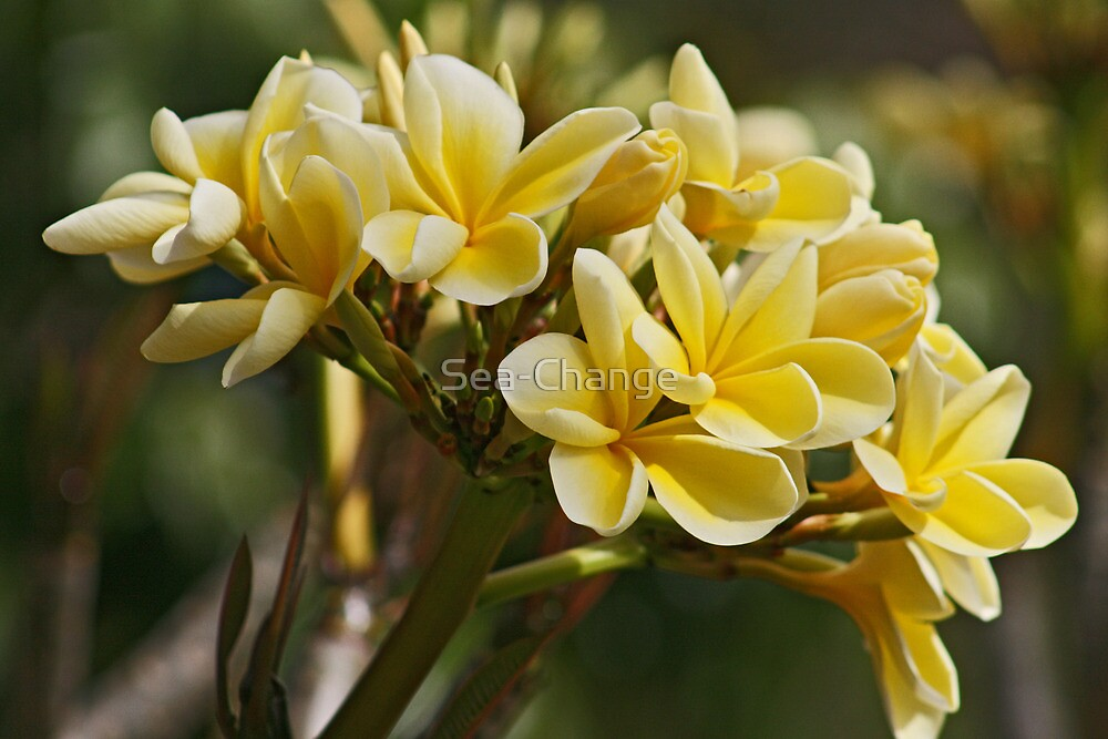 Yellow Frangipani by Sea-Change