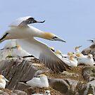 Fly by - Saltee Island, County Wexford, Ireland by Andrew Jones