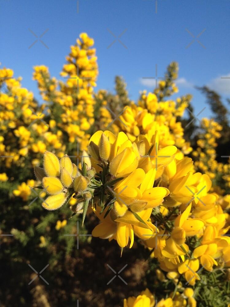 Gorse flowers (Ulex europaeus) by FORESTKAT