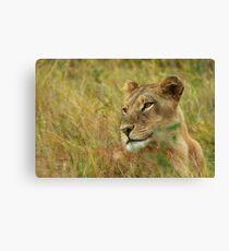 African Lioness, Okavango Delta Canvas Print