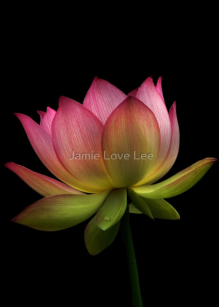 Lotus by Jamie Lee