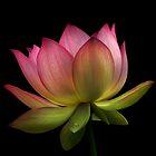 Lotus by Jamie Lee