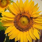 Sunflower by TyTheTerrible