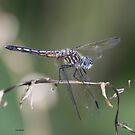 Dragonfly by Dennis Cheeseman