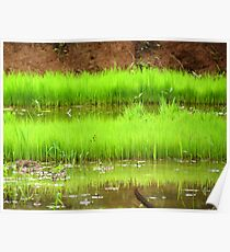 Paddy Field Poster