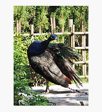 Mrs Peacock Photographic Print