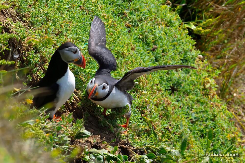 Puffin courtship, Saltee Isand, County Wexford, Ireland by Andrew Jones