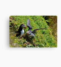 Puffin courtship, Saltee Isand, County Wexford, Ireland Canvas Print
