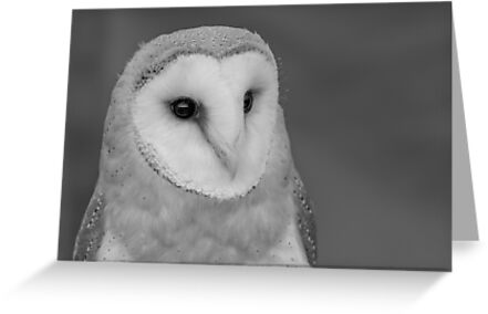 Barn Owl by shaftinaction