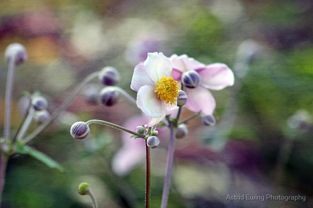 Pretty Pink Anemone by Astrid Ewing Photography