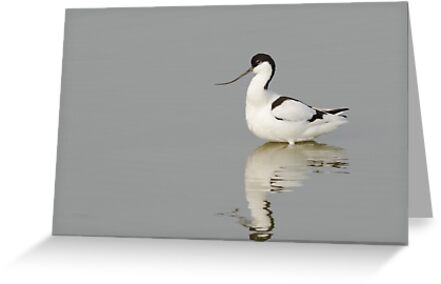 Avocet by shaftinaction