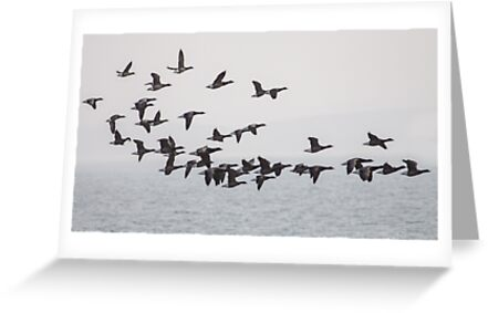 Brent Geese by shaftinaction