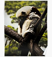 Coquerels Sifaka Poster