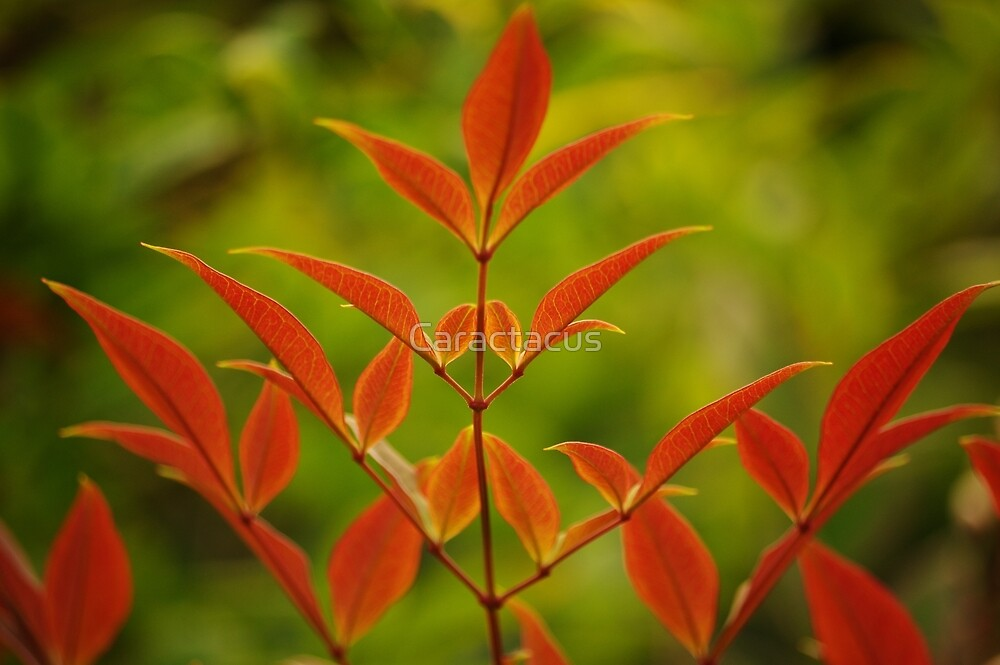 Red Leaves by Caractacus