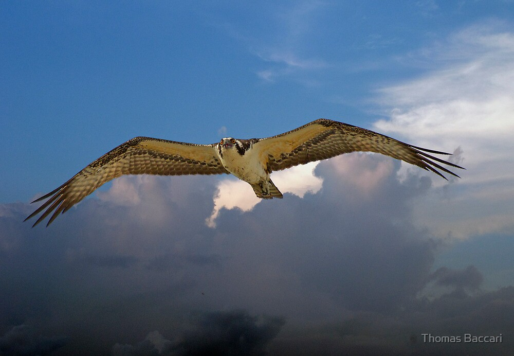 OSPREY flys right over my head by TJ Baccari Photography