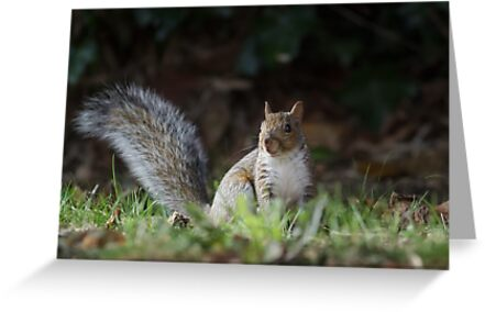 Grey Squirrel by shaftinaction