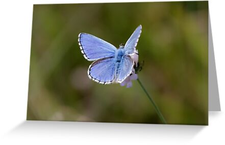 Adonis Blue by shaftinaction