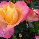 Pink And Yellow Beauty by Fara