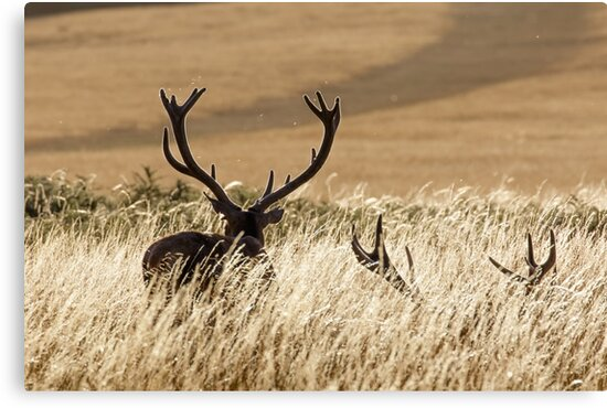 Red Deer Stags by shaftinaction