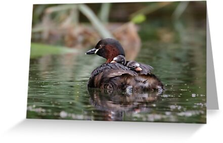 Little Grebe Family by shaftinaction