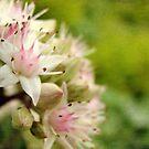 Dream a Little Dream (Sedum Flowers) by Tracy Friesen