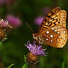 Great Spangled Fritillary Feeding by Robert Miesner