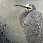 White Faced Heron by Eve Parry