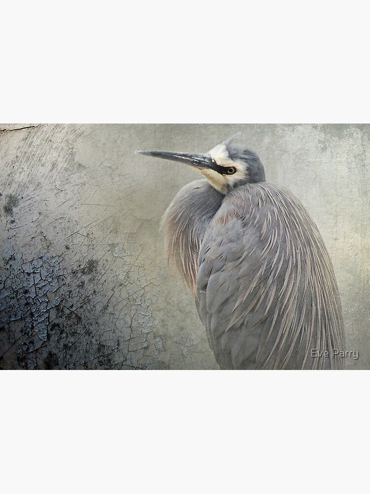 White Faced Heron by AdamsWife
