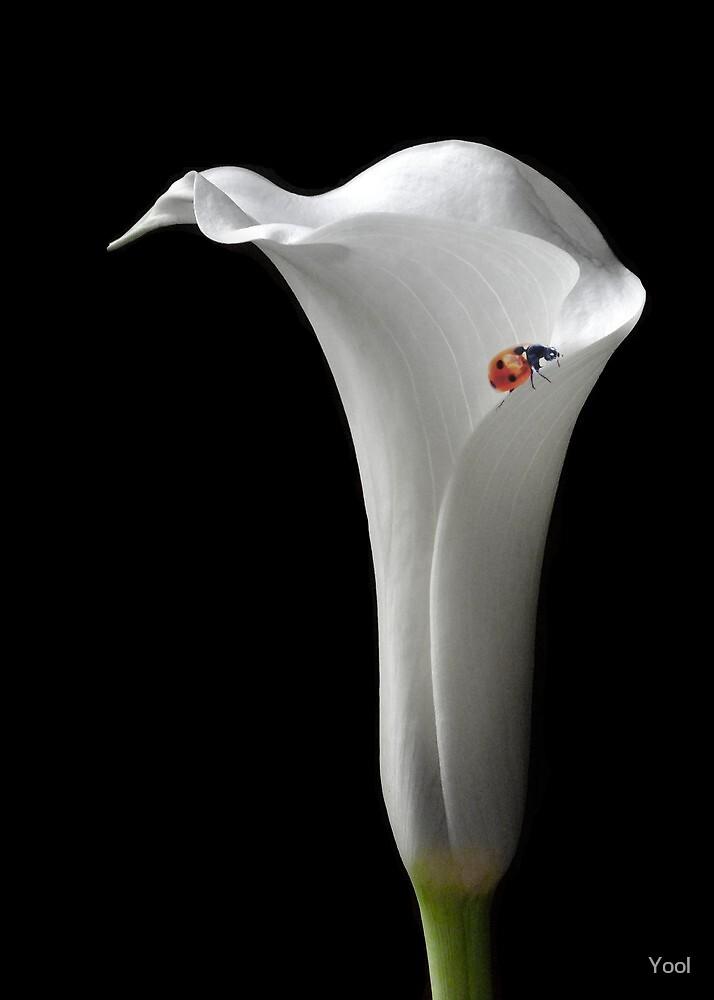 Lilium by Yool