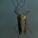 crane fly by jaffa