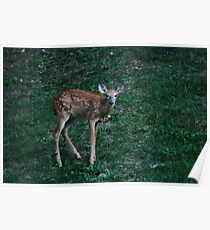 Baby Fawn - deer that is!! Belle Meade  Poster