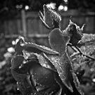 Raindrops on Roses by Melissa Fuller