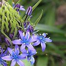 Blue Surprise by lissygrace