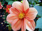 Single Flowered Dahlia  by sstarlightss