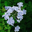 Blue Violet Flowers by jsalozzo