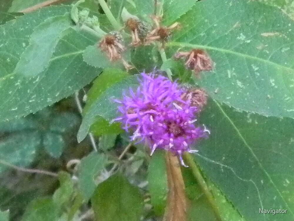 Mistflower, Blue Boneset, Wild Ageratum by Navigator
