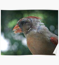 Young Northern Cardinal Poster