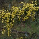 Winter Wattles by Lozzar Flowers & Art