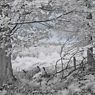 The Sycamore Tree - Infrared by Ann Garrett