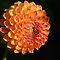 *Whole Dahlia Flower* Challenge - Enchanted Flowers*