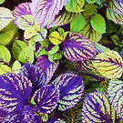 """""""Colorful Coleus"""" by kcd-designs"""