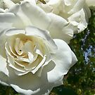 Purity of a White Rose. by CamelotScribe