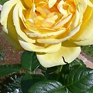 Yellow Rose. by CamelotScribe