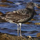 Juvenile Pacific Gull (Larus pacificus) - Point Lowly, South Australia by Dan Monceaux