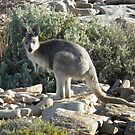 Euro (Macropus robustus) - Black Point, South Australia by Dan Monceaux