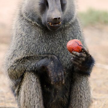Baboon by bfra