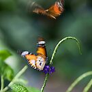 Butterfly Dance by Glennis  Siverson