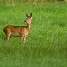 Roe Deer by Val Saxby